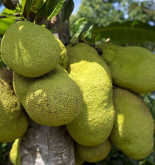 Jackfruit: The new Vegan alternative to meat for 2017
