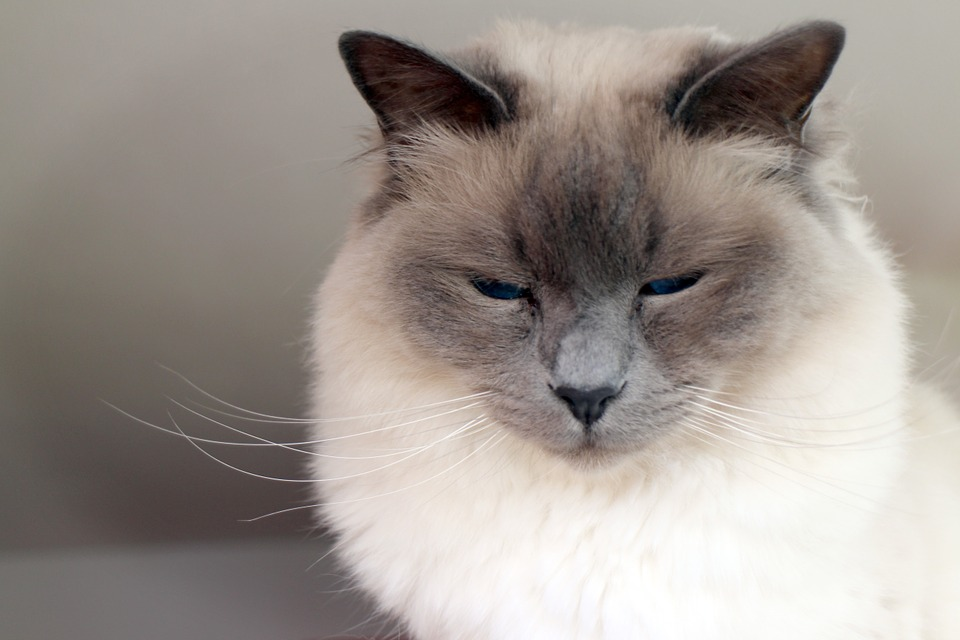 Five strangest things to have flown alone on Private Jet birman cat
