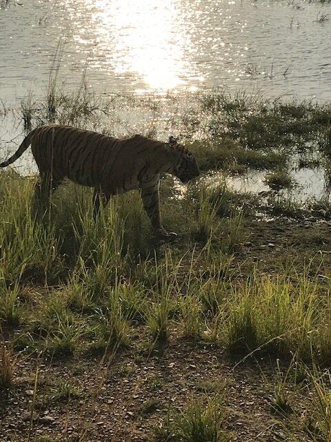 Tiger near water at Ranthambore National Park