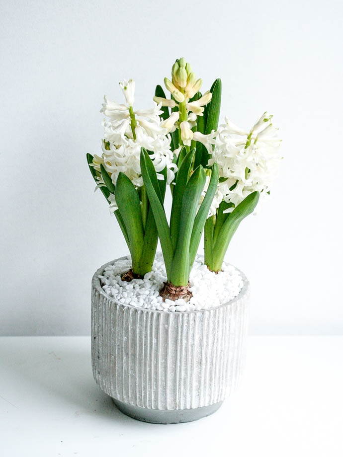 Round Cement Planter and Hyacinths, created by Garland for Mother's Day