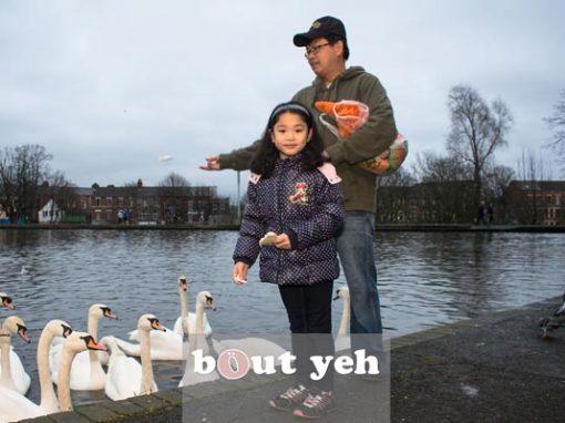 Feeding swans.