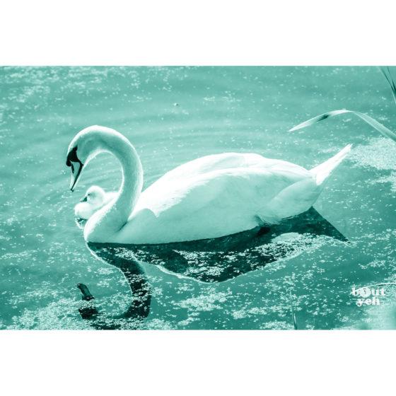 Swan and cygnet, Belfast Waterworks, Northern Ireland - photographic print for sale.