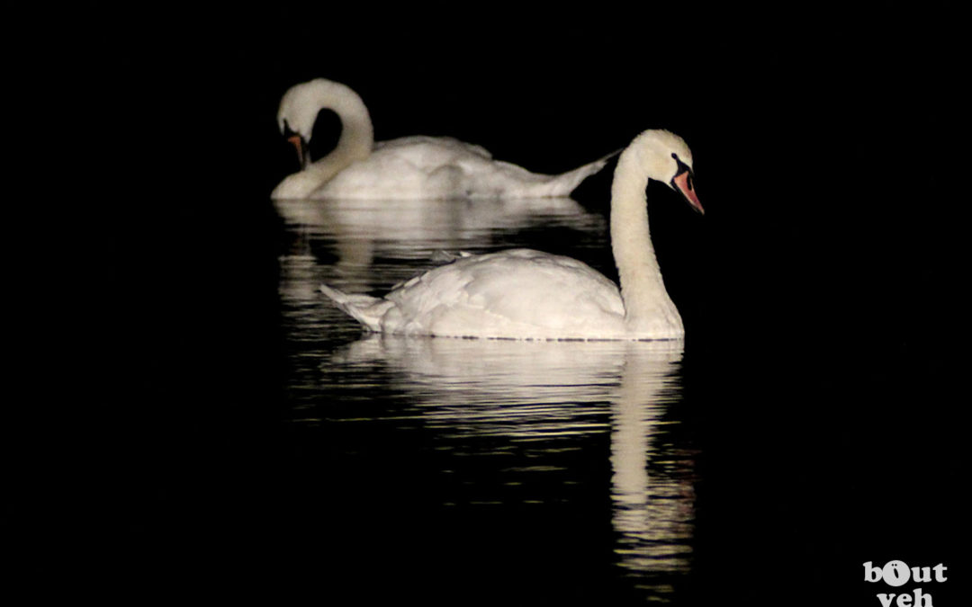 Swans Reflected at Night, Northern Ireland