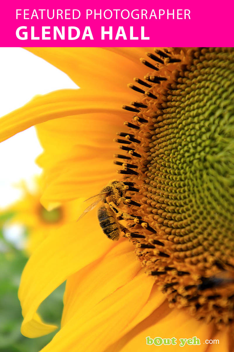 Bee on sunflower photograph by featured photographer Brenda Hall - Bout Yeh photo video Belfast