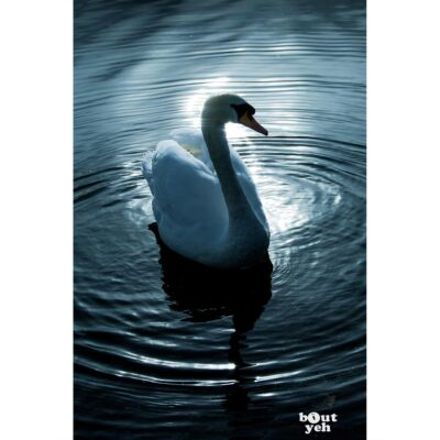 Swan silhouetted against sunlight at The Waterworks park Belfast, Northern Ireland - photo 1138