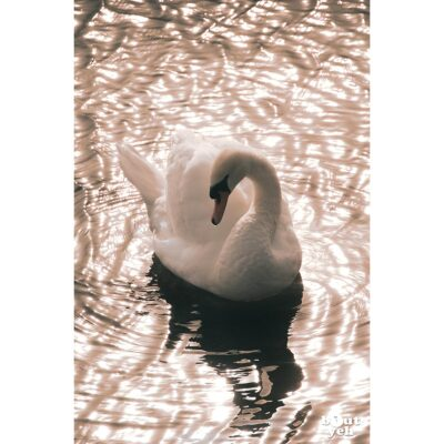 Photographs of Ireland for sale. Swan on sunlit water at The Waterworks Belfast, Northern Ireland, by Stephen S T Bradley, photo 1121