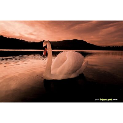 Photographs of Ireland for sale - Swan on water at sunset at The Waterworks Belfast, Northern Ireland, photo 1299