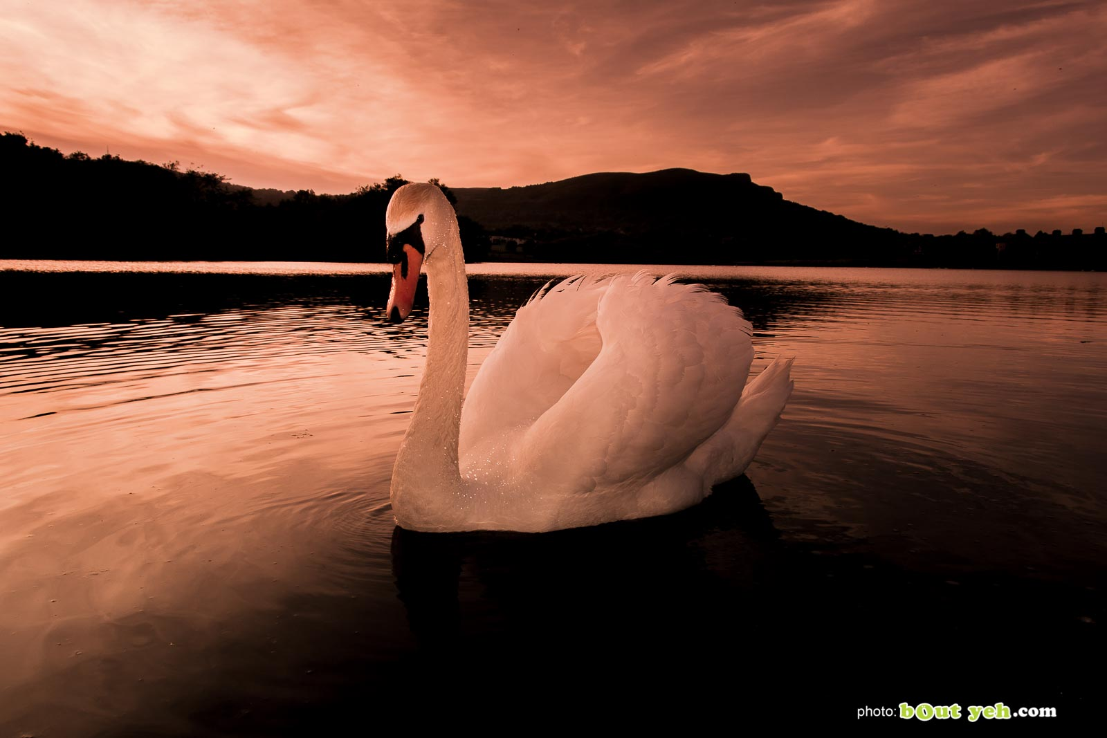 Swan on water at sunset at The Waterworks Belfast, Northern Ireland, photo 1299