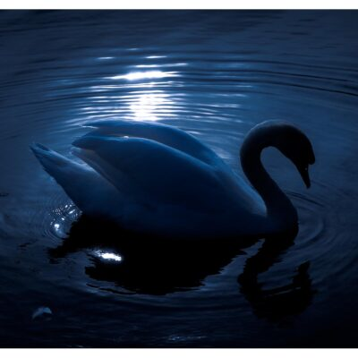 Photographs of Ireland for sale. Swan on sunlit water at The Waterworks Belfast, Northern Ireland, by Stephen S T Bradley, photo 1142