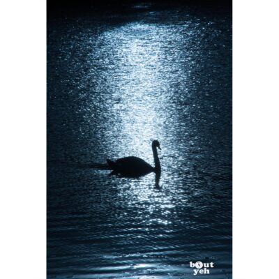 Photographs of Ireland for sale - Swan on water backlit by sun at The Waterworks Belfast, photo 1277