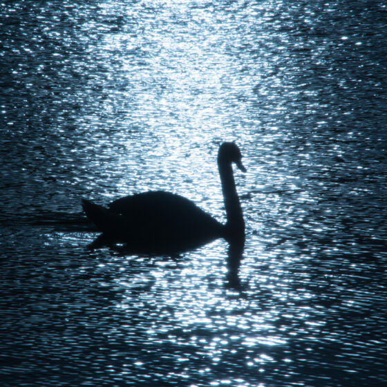 Photographs of Ireland for sale - Swan on water backlit by sun at The Waterworks Belfast, photo 1277 detail