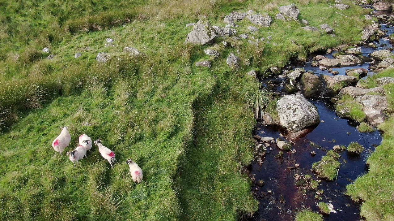 Sheep beside stream at the top of Glendun filmed from the air by Bout Yeh aerial drone photography and video production Belfast