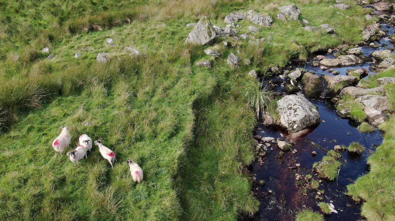 Sheep beside stream at the top of Glendun