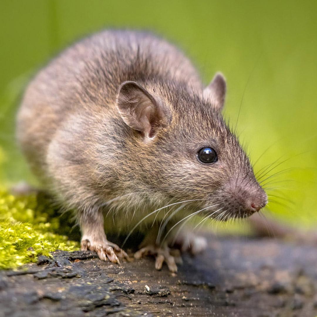 Rodent Management Service