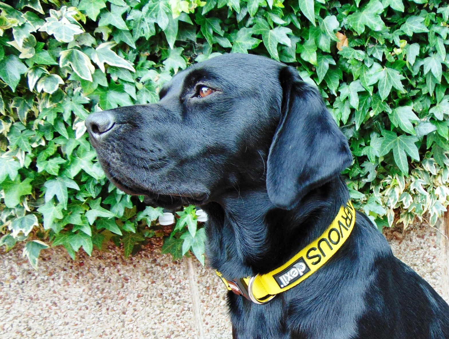 nervous dog collar