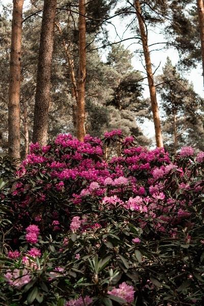 Rhododendron Bio-Honig_Rhododendron