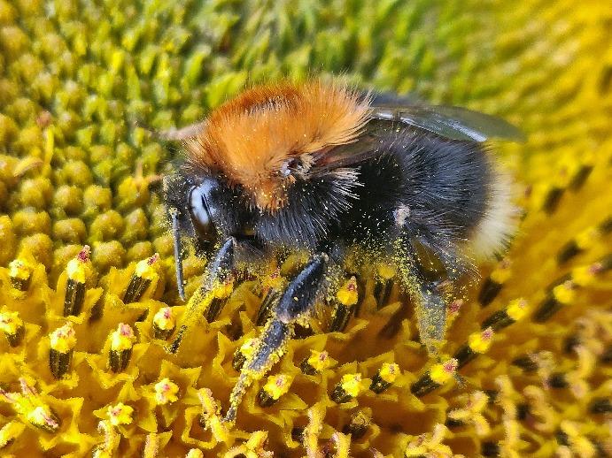 Pollen-Bienen