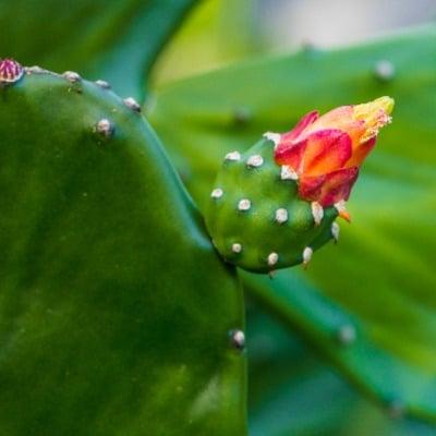 Kaktusfeigenöl