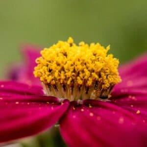 Bio-Blütenpollen vom Imker