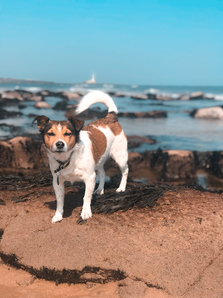 Petplan Pethood Stories: Why I Love Jack Russel Terriers 3