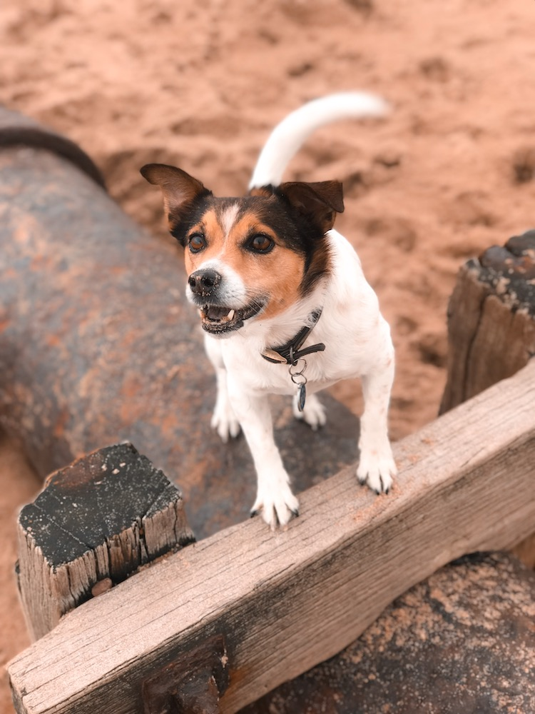 Petplan Pethood Stories: Why I Love Jack Russel Terriers 1