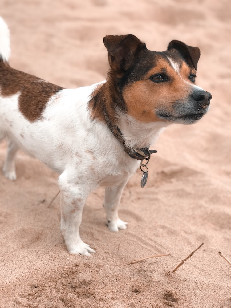 Petplan Pethood Stories: Why I Love Jack Russel Terriers 4