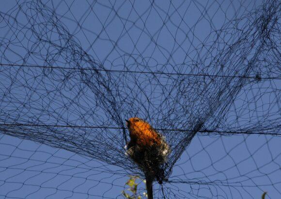 Prohobit all hunting including cruel methods – lime sticks & nets