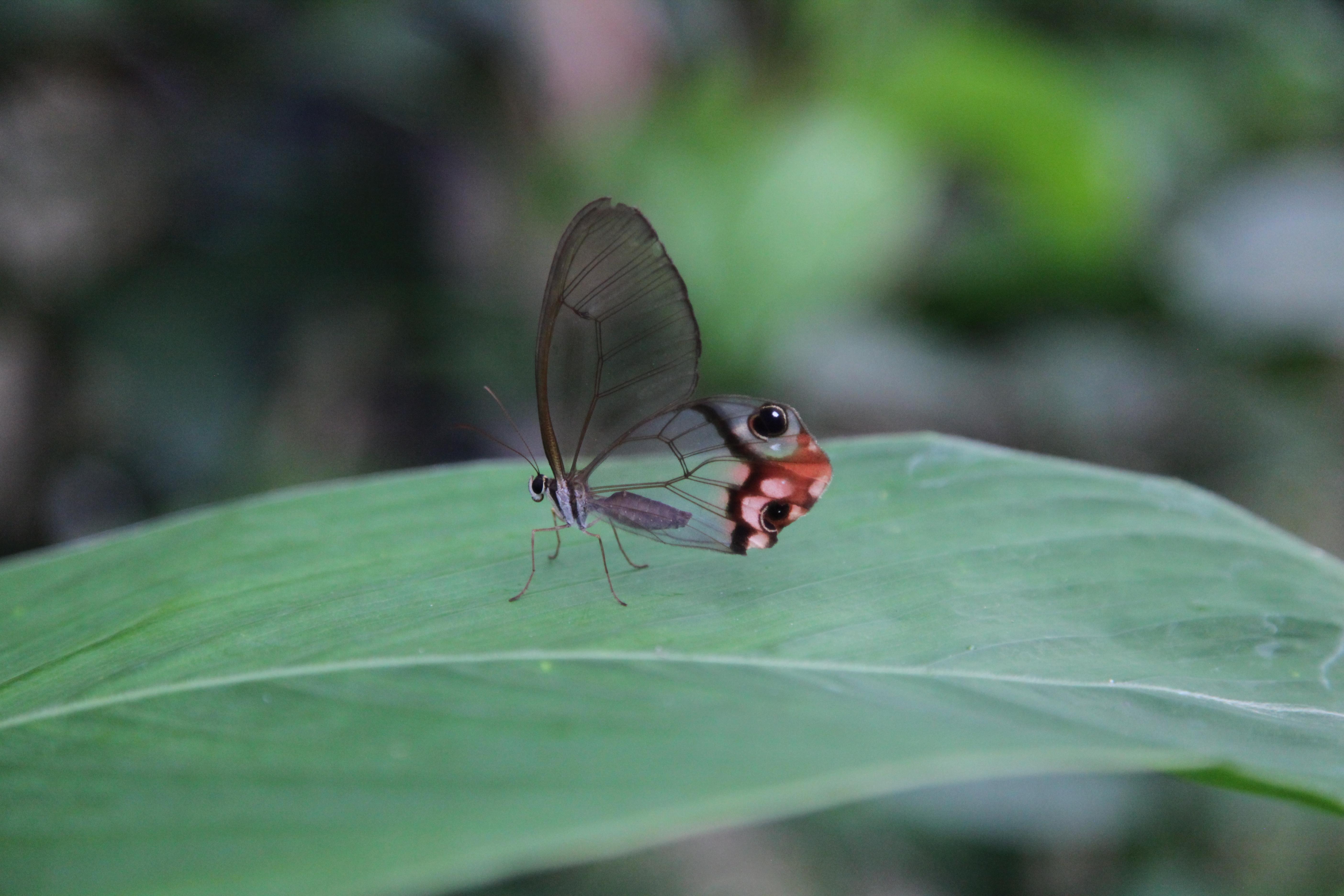Mashpi Butterfly