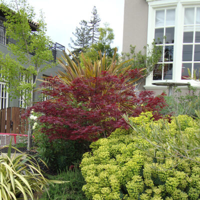 Japanese Maples and Euphorbia with Rosemary