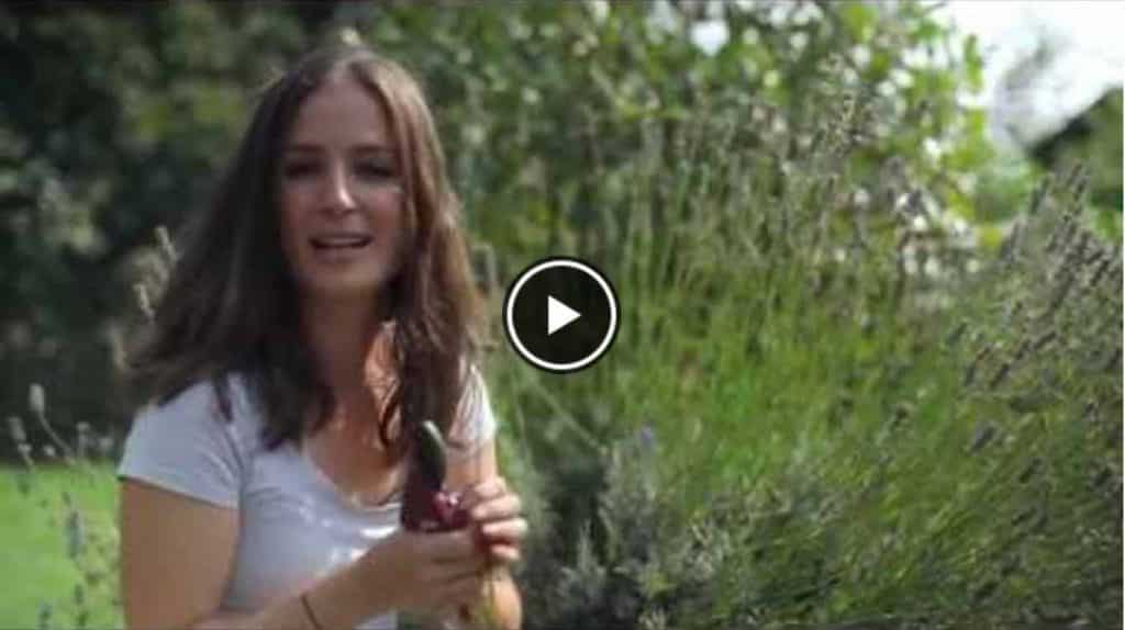 lavender-video-image