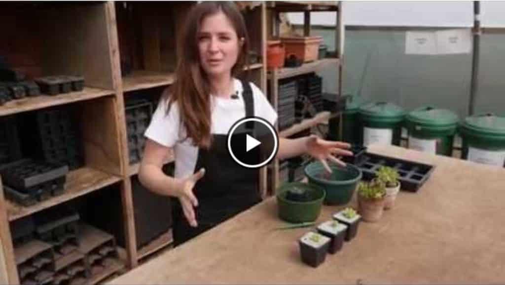 how-to-propagate-sempervivums