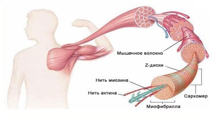 мышечные волокна
