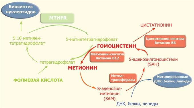 Фолатный цикл