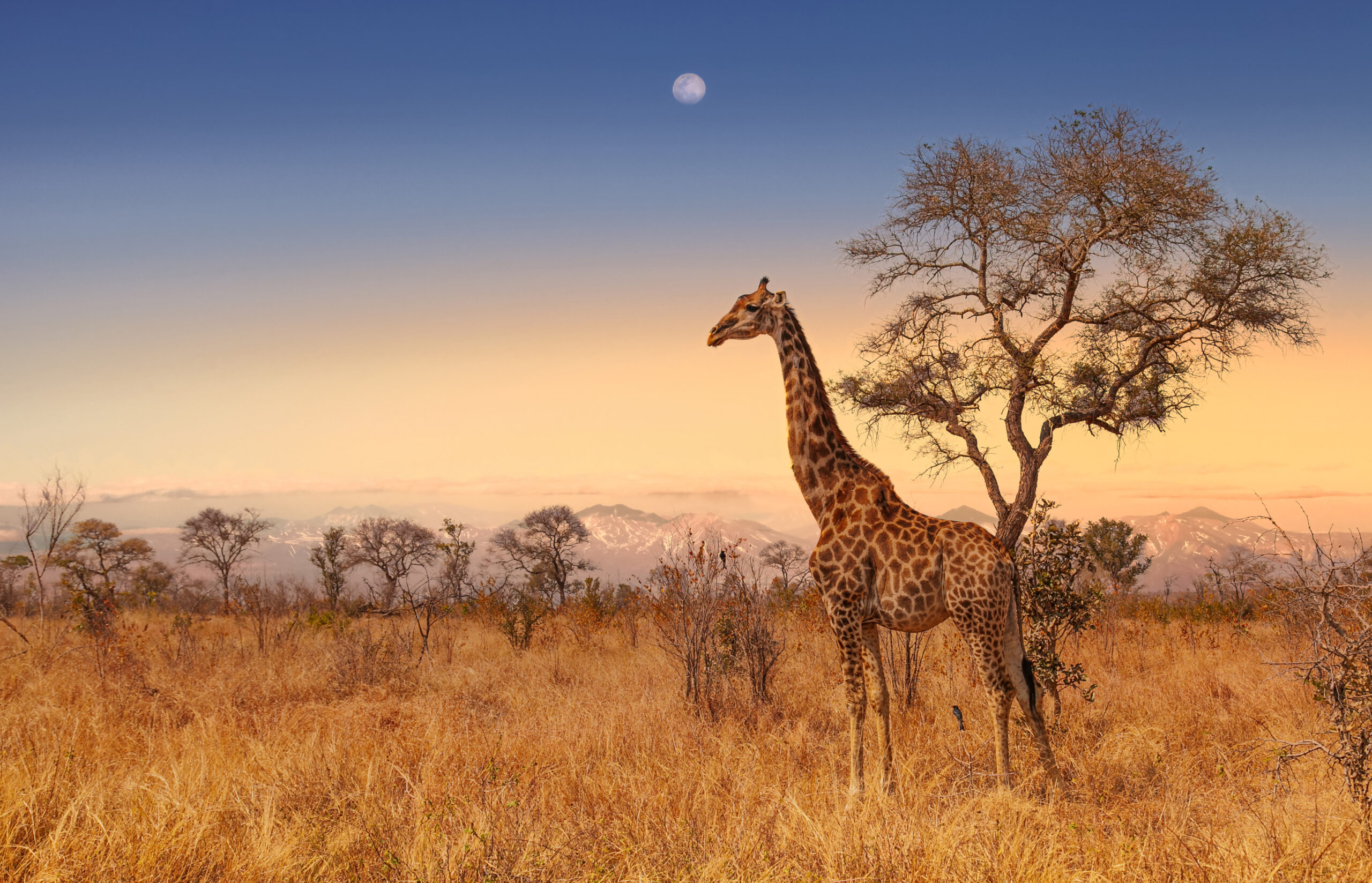 Giraffe in game reserve