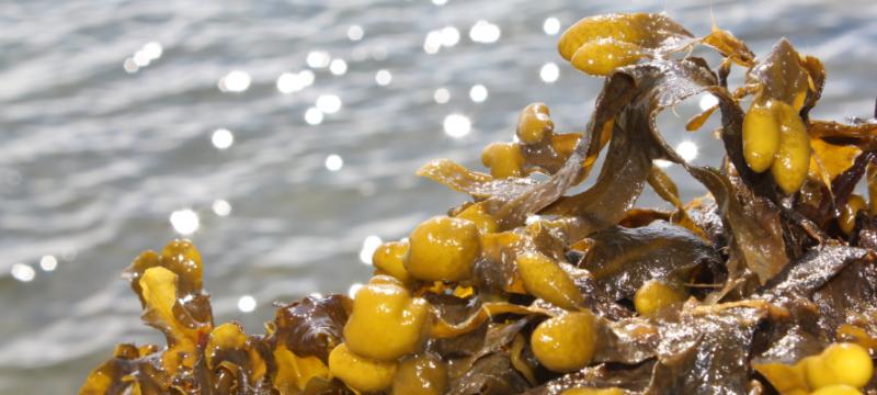 Utilising Redefined Seaweed in Biomaterials