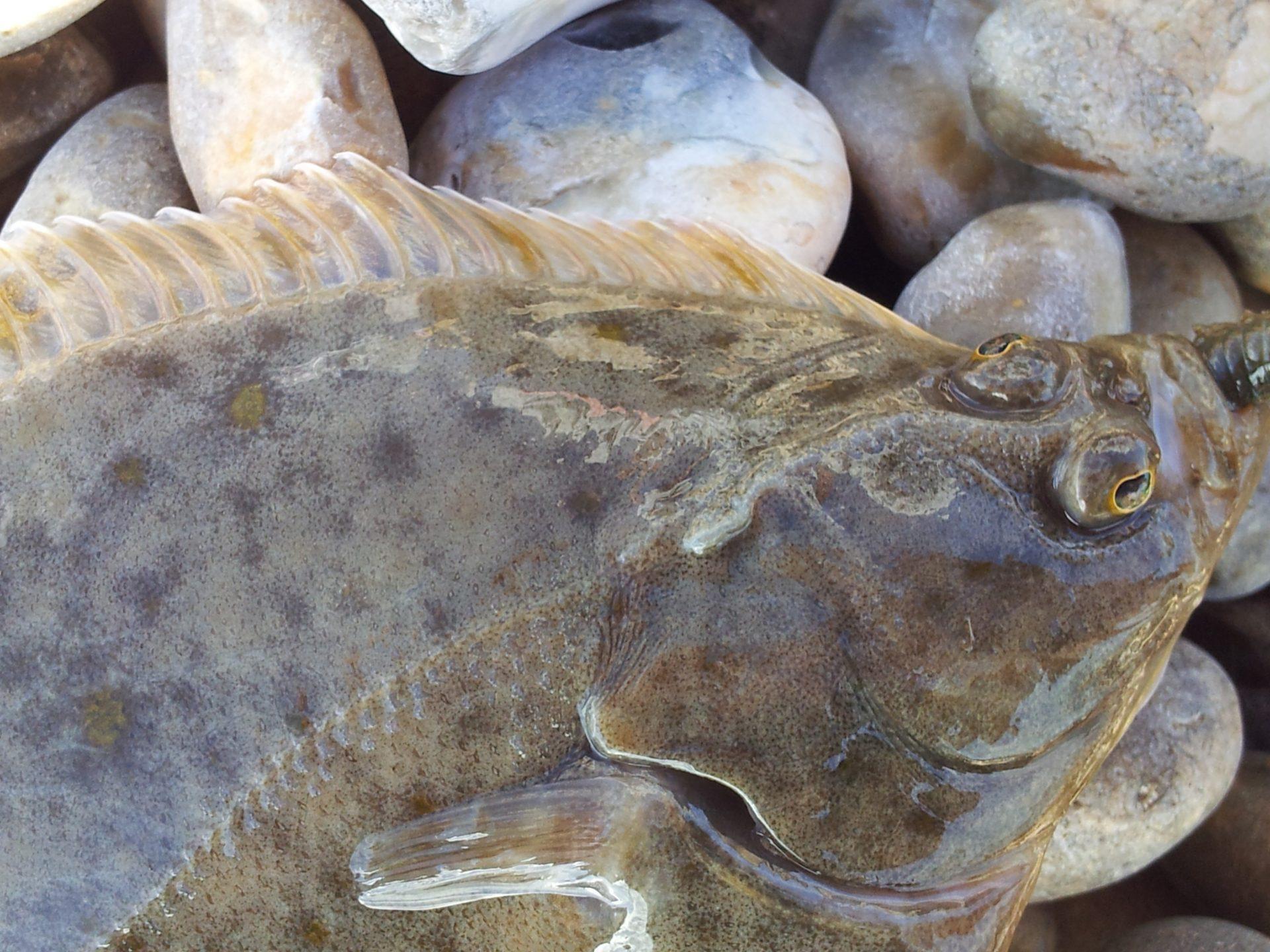 Flounder red2