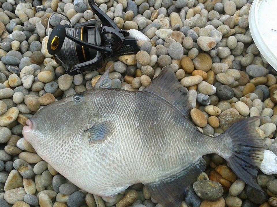 Trigger Fish2