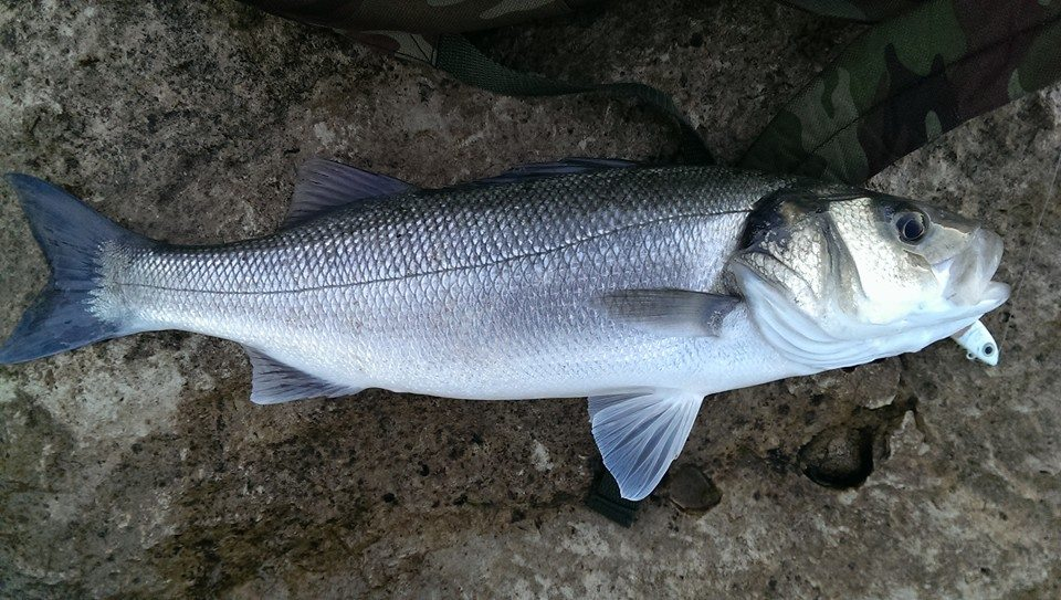 Fraser Bass