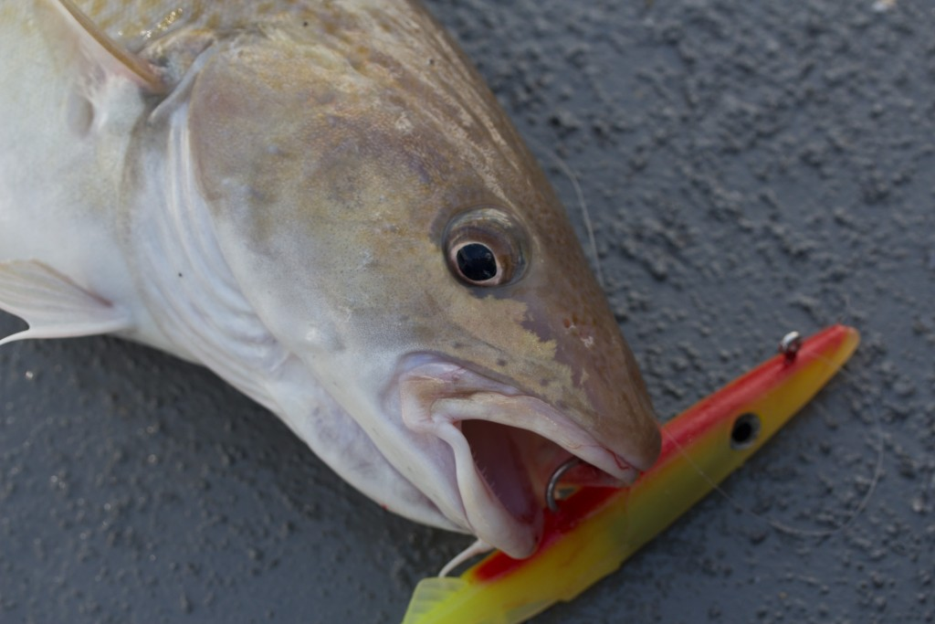 cod lure