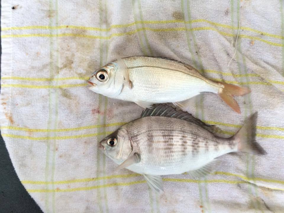 Red Bream and Black