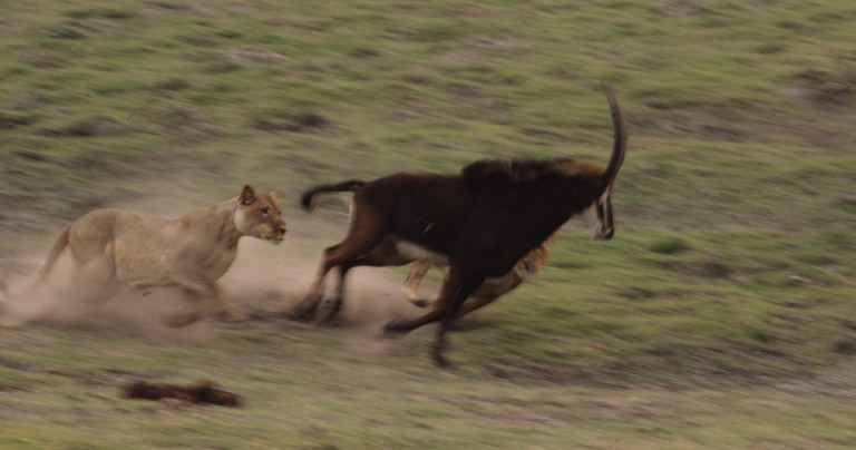 Lions in chase