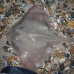 Small Eyed Ray from Avon beach
