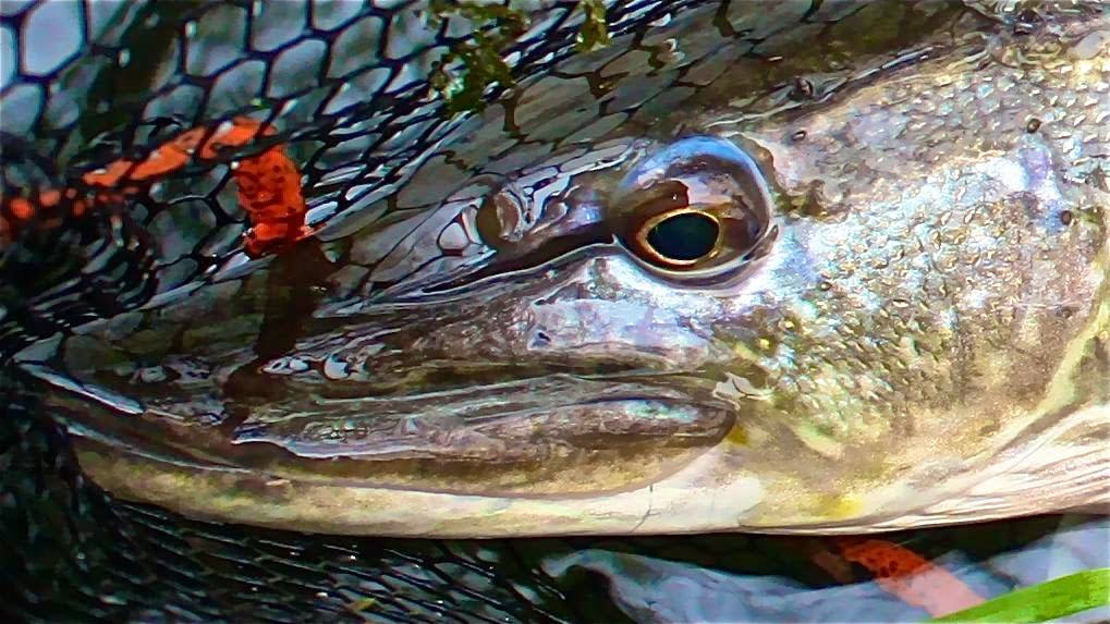 Pike on fly