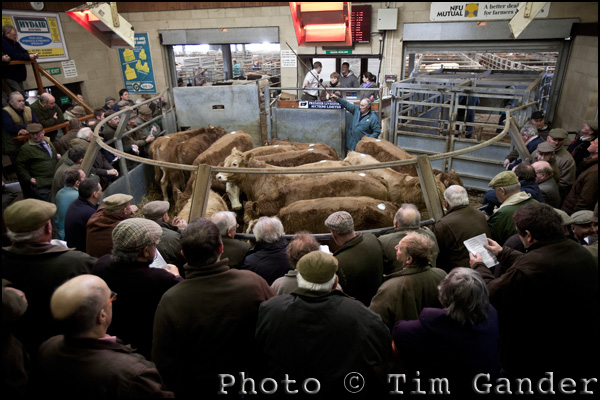 Livestock auction in Somerset