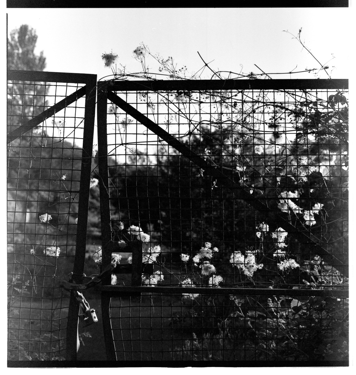 Weed seed heads garland a locked mesh gate to the Saxonvale site.