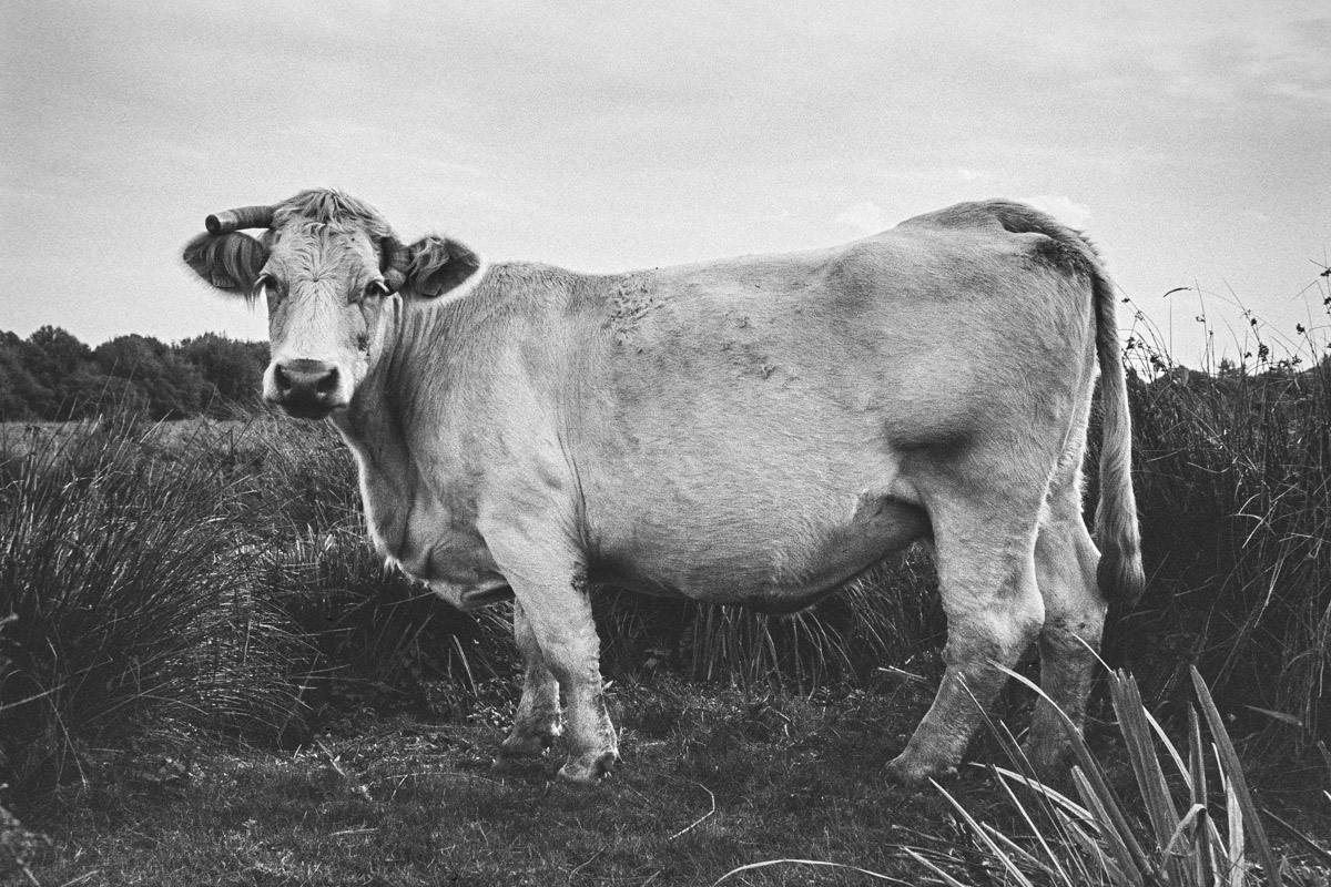 Black and white side-view of a Charolais cow standing amongst grass with its gaze turned to camera.