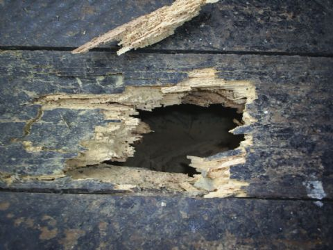 Woodworm Damage to floorboards