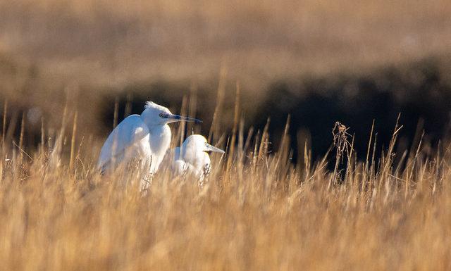 Little Egrets Wildlife Bird Photography Norfolk