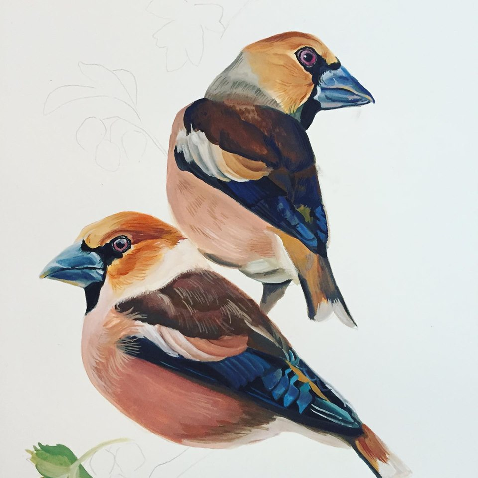 Gouache painting of two wildlife Hawfinch