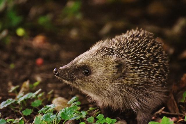 How to help hedgehogs UK